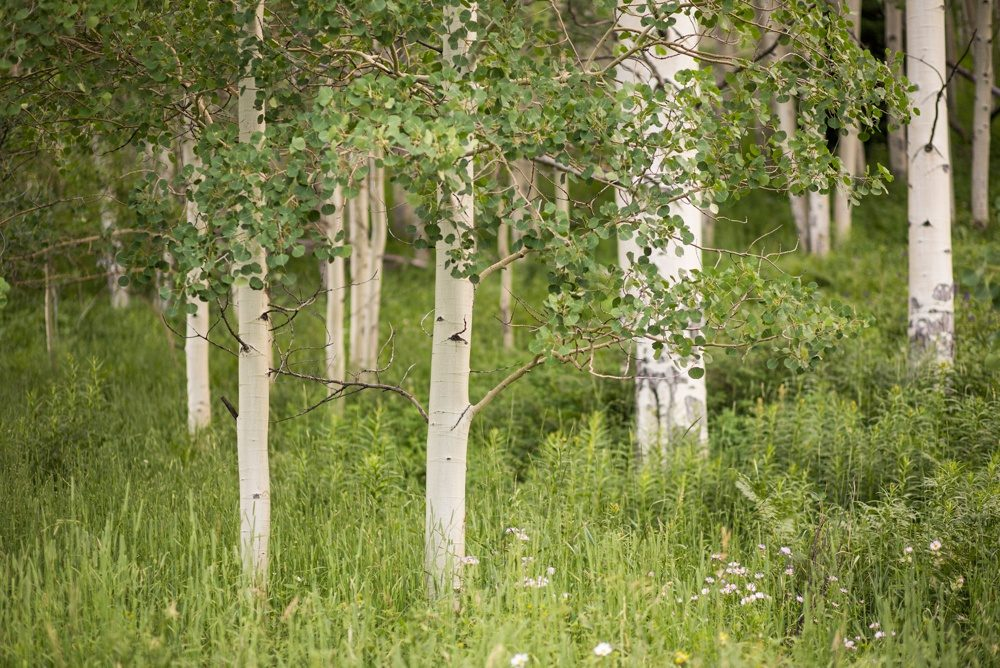 close up of an aspen grove on the slopes of beaver creek, colorado